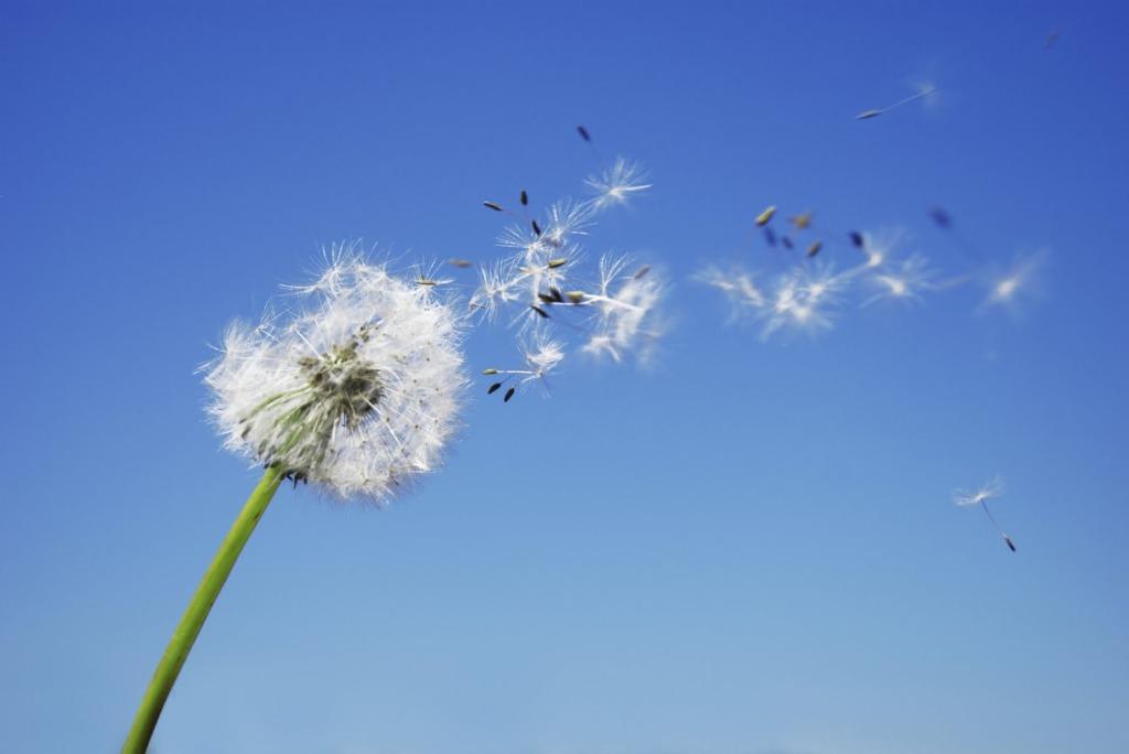 Dandelion blowing in the wind