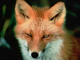 red-fox-fac-small